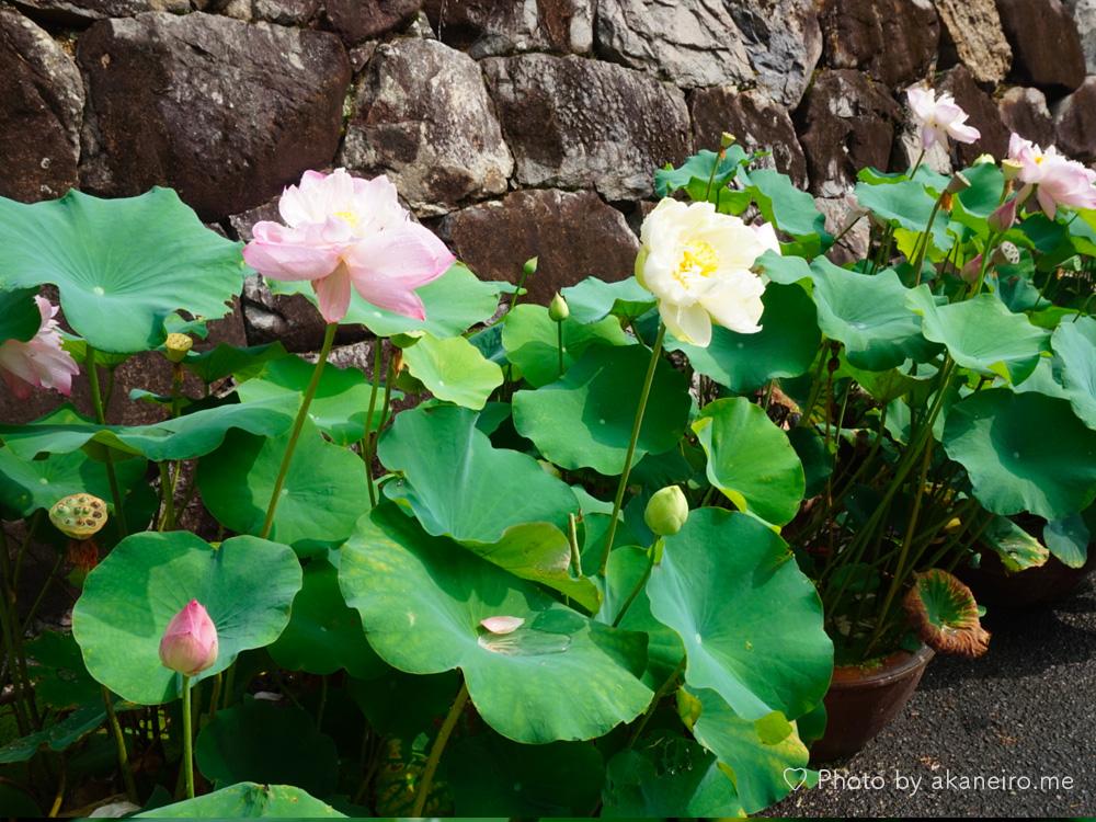 中山寺の蓮の花